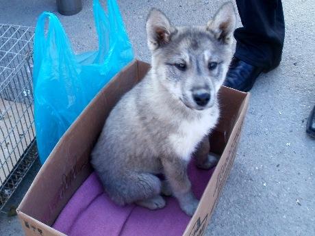 Доскару собаки, щенки - сибирский хаски предлагаются к резерву и продаже щенки шубные запросу видео